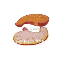 Stomach Model,Digestive Organ Anatomical Model
