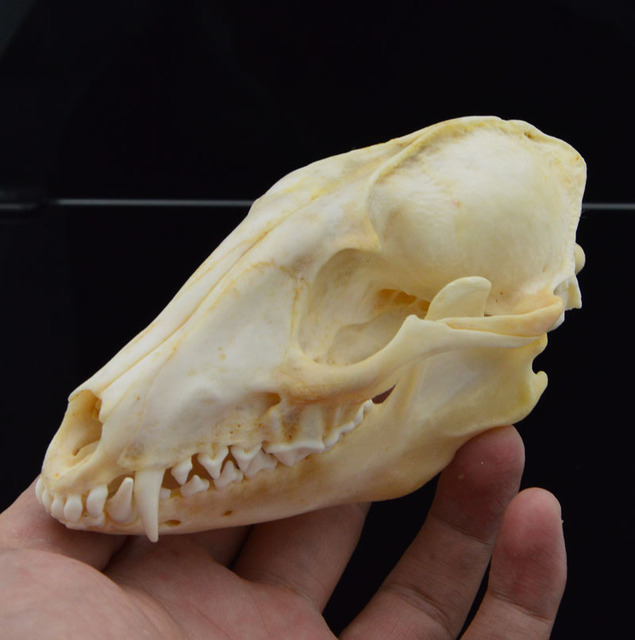 Real XL Grey Fox Skull Animal Bone Decor Unique Birthday Gift Man Cave Western