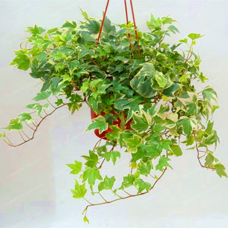 Buy Hot Sale 50 Pcs Chinese Ivy Seeds Diy