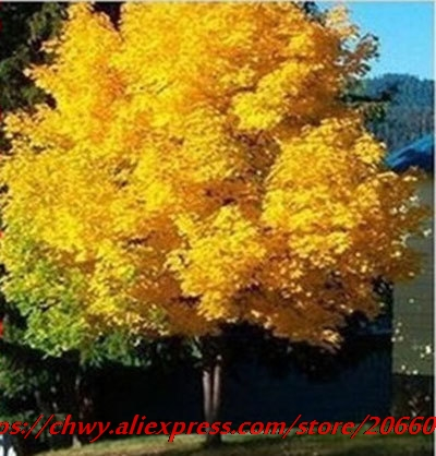 20seeds yellow maple tree live seed Home Garden Norway maple gold tree seeds good bonsai price will up soon ...