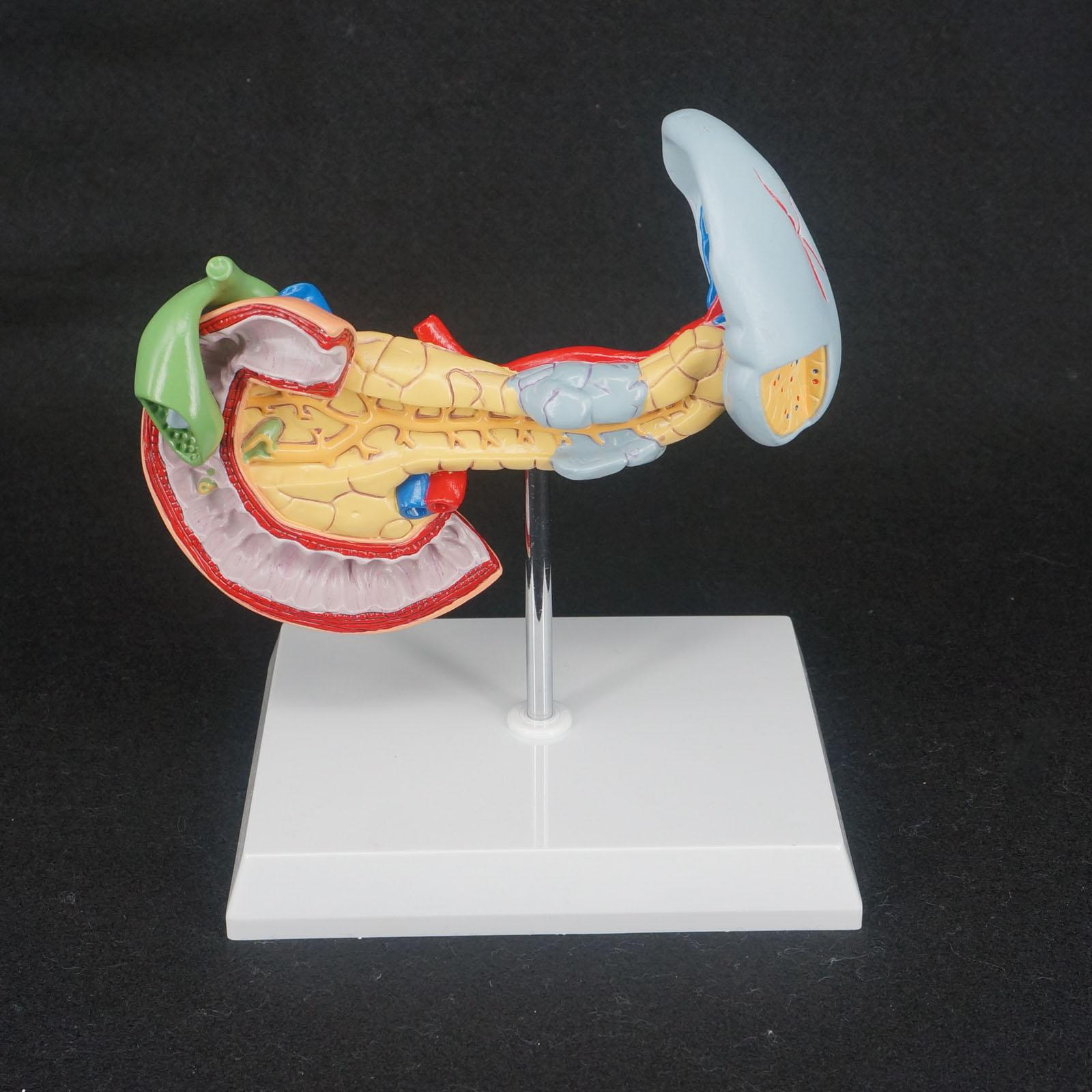 Human Liver Pancreas and Duodenum Anatomical Model Medical Anatomy Teaching Resources human anatomical male genital urinary pelvic system dissect medical organ model school hospital