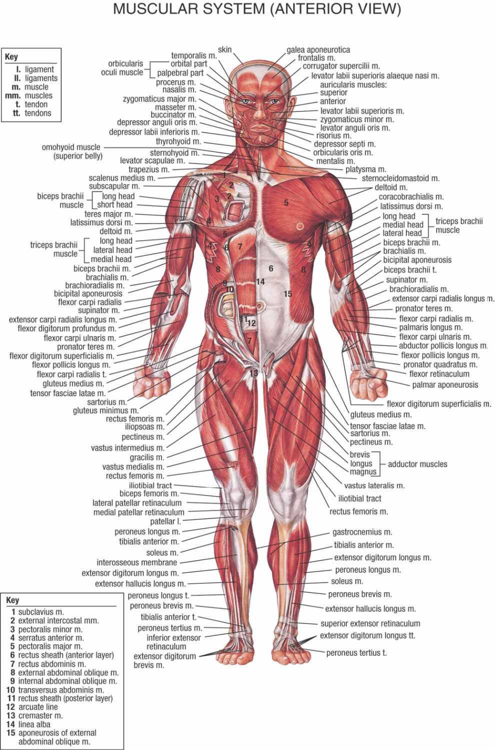 Human Body Anatomical Chart Muscular System Campus Knowledge Biology