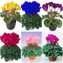 100pcs Cyclamen Bonsai Mixed color cyclamen flower perennial indoor flowering potted plants for home garden bonsai