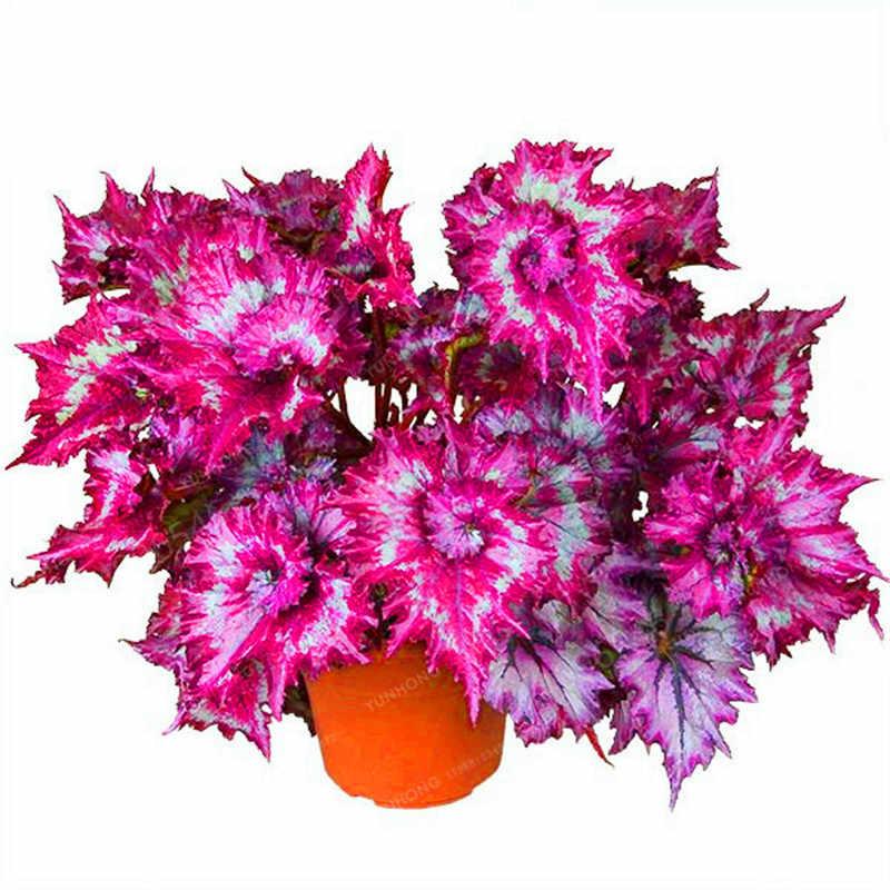 100 pcs big-vendita Arcobaleno flora foglia Colorato foglia di erba Coleus Bonsai fiore Freddo-tolerant piante in vaso di fiori di trasporto trasporto libero