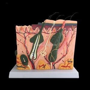 Image 2 - Ludzka skóra i struktura włosów powiększ Model struktura warstwy skóry Model struktura skóry anatomia kosmetyczne pomoce szkoleniowe