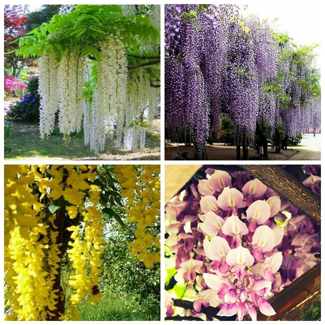 4 colours of Wisteria Flower Seeds ,Purple yellow white pink Wisteria Seeds, 10pcs/pack