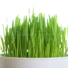 40 Catgrass (Sweet Oats for Cats)  Seeds,Easy to grow