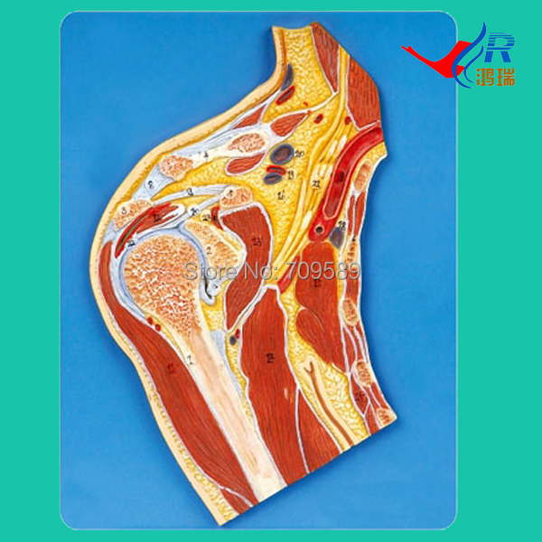 ISO Shoulder Joint Section Model, Anatomical shoulder Model sagitally section model about tissue decomposition model for doctor patient communication model with magnetic