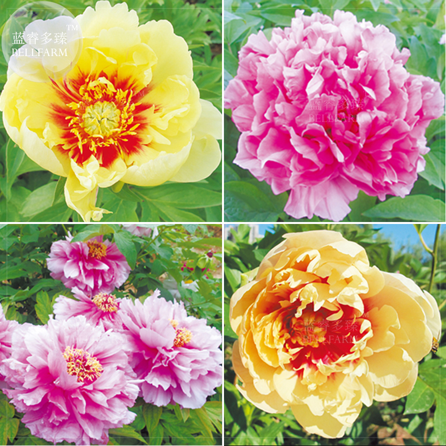 Bellfarm Bonsai Heirloom Chinese Tree Peony Yellow Golden Pink Red