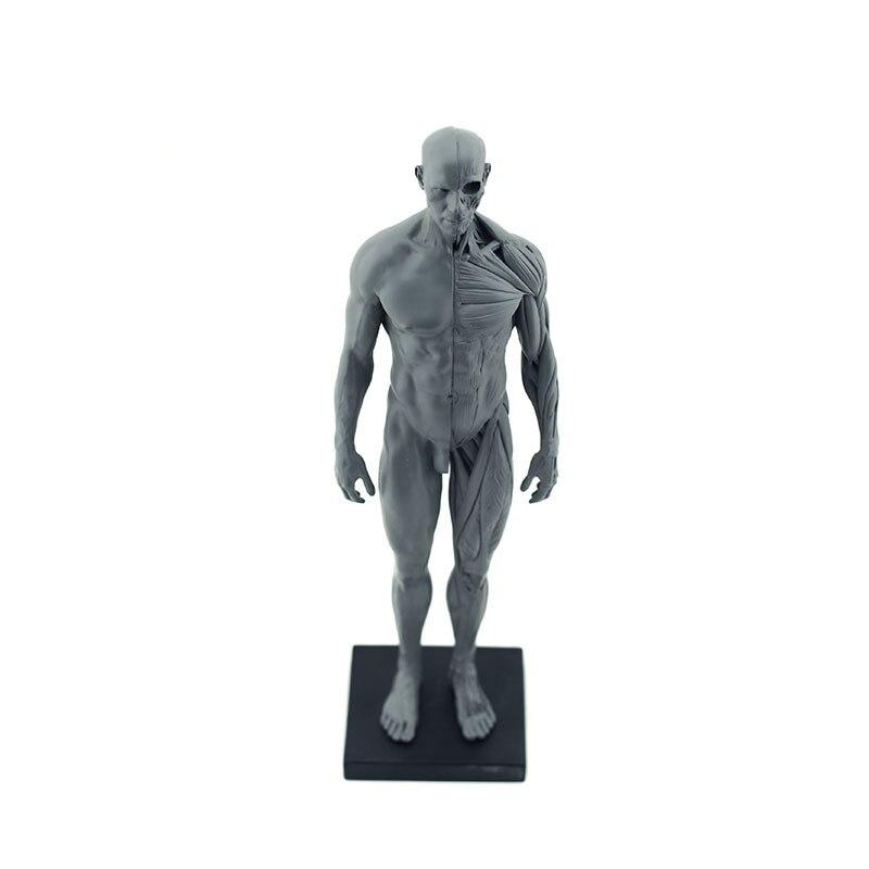 Купить с кэшбэком Full Resin Men Human Body Model Medical Anatomy Human Muscle Teaching Model Fine Arts Teaching 8.2*7.8*30cm