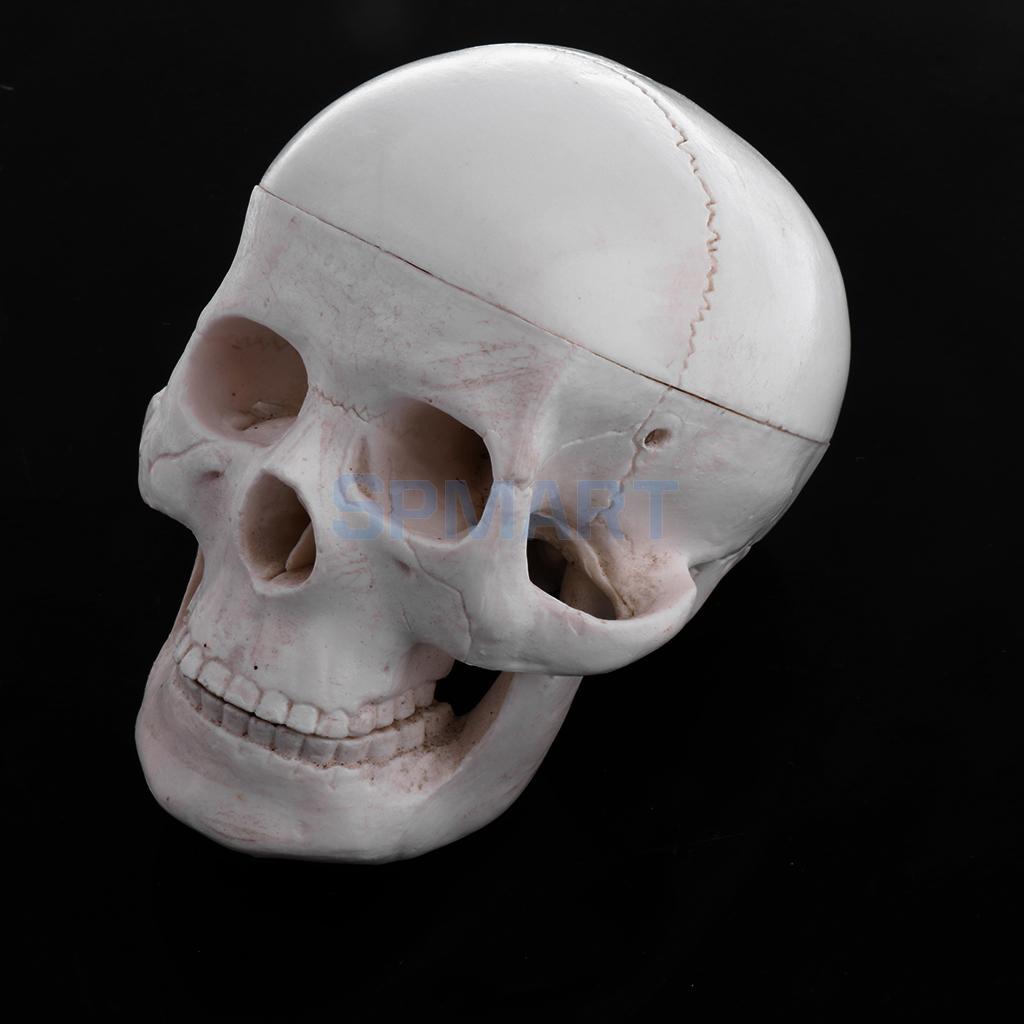 Human Skull Model Anatomical Head Skeleton Medicine Science Lab ...