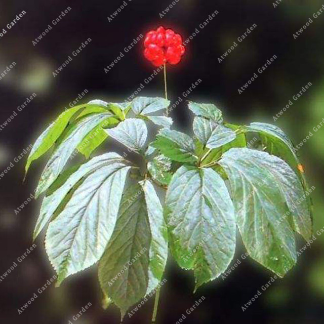 ZLKING 50PCS Ginseng Bonsai Plants For Home Garden Rare Perennial Fragrant Plants Supernatural Products Natural Herbs 3