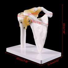 Modelo anatómico funcional de tamaño real, esqueleto de Anatomía Humana, articulación de hombro, modelo de músculo óseo para herramienta de estudio educativo