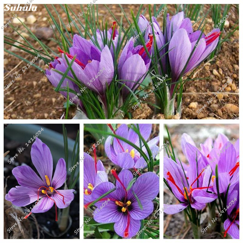 buy purple crocus and get free shipping on aliexpresscom