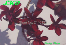 7-15inch Rooted Plumeria Plant Thailand Rare Real Frangipani Plants no33-black-red