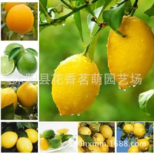 Get more info on the Flower Seeds For Lemonbonsai Lemon Potted Edible Tangerine Citrus Fruit Dwarf Tree Indoor Plant For Home Garden Plants 10pcs