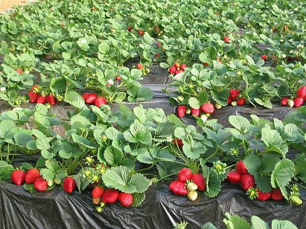 Aliexpresscom Buy 30pcs red fruit strawberry seeds fruit
