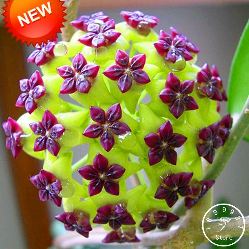 Time-Limit!!Hoya Flores,Potted Flowers Bonsai Plants Hoya Plantas, Orchid Plante DIY Home Garden 100 Particles/lot,#1TIRLS