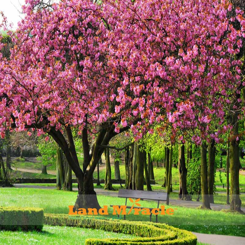 20seeds Pack Amazing Pink Cherry Tree Anese Sakura Blossom Seeds For Diy Home Garden Woody Flower In Bonsai From