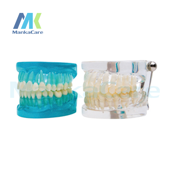 Manka Care - Standard Model Oral Model Teeth Tooth Model