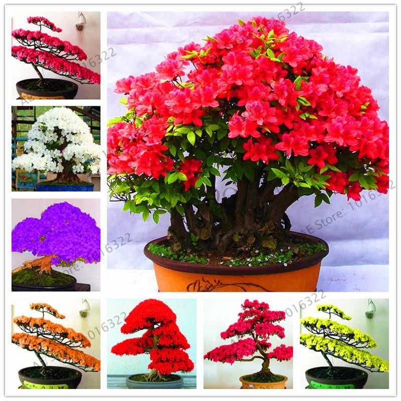 100 шт./пакет Редкие бонсай разновидности Azalea flores DIY домашние и садовые растения выглядят как Сакура японские вишневые цветы Цветочная Планта