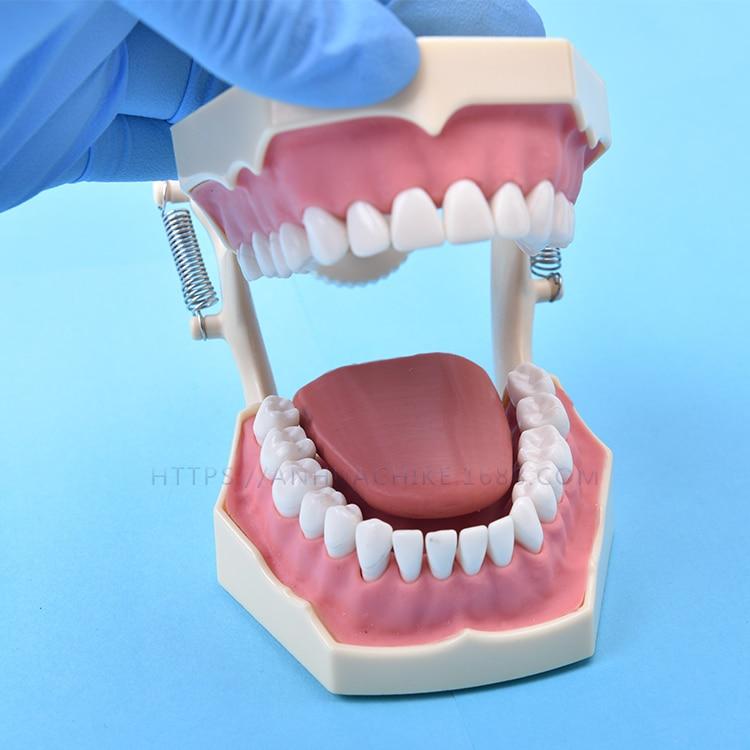 Modèle dentaire de modèle d'enseignement SF modèle d'enseignement modèle de dent 32 vis cadre de mâchoire fixe