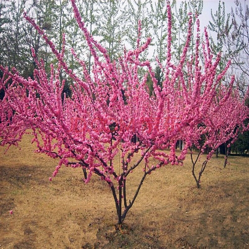 12 semillas semillas de prunus triloba, rehmannia glutinosa