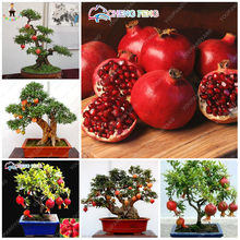 50pcs Red Pomegranate Fruit Home Plants Outdoor Delicious Fruta Tree Bonsai Very Big Sweet for Home Garden decoration(China)
