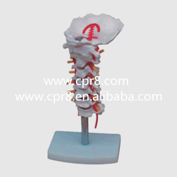 BIX-A1014 Cervical Carotid Artery Occipital Intervertebral Disc And Nerve Model MQ095 nerve