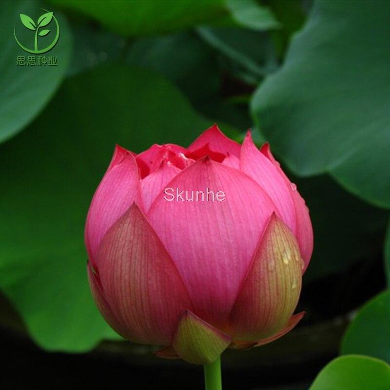 Bowl Lotus White Lotus Hibiscus Lotus Round bowl lotus bonsai 5 bag in Bonsai from Home Garden