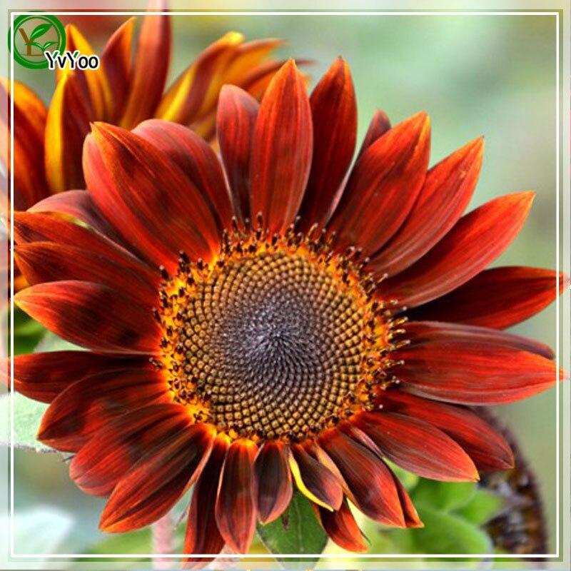 Rare Sunflower seeds Flower Pot Planters Garden Bonsai Flower Seed 15  Particles / lot n005( - Compare Prices On Planters Sunflower Seeds- Online Shopping/Buy