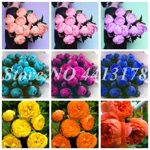 10 Pcs/Bag Exotic Double Peony Bonsai Multicolor Perennial Peony Flower Chinese Paeonia Suffruticosa Plant Diy Home Garden Flore(China)