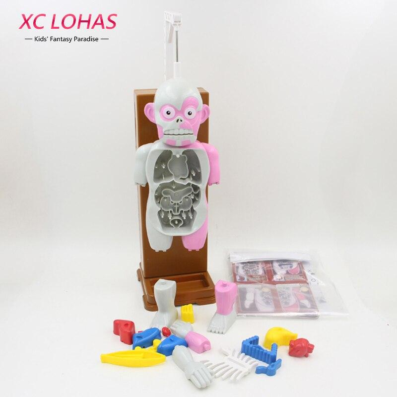 Funny simulación órganos humanos 3D rompecabezas montado modelo de ...