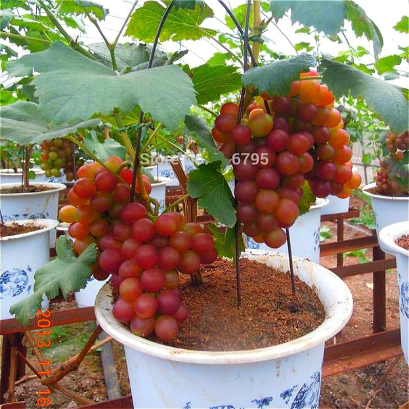 2016 New Variety 30pcs Bonsai Crystal Grape Seeds Pot Dwarf Fruit Home Garden Fruit Plant Seeds Tree Seed Plants Rapid Growth