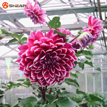 Red Dahlias Seeds,Potted Flower Seed for DIY Home Garden 100 Particles / lot