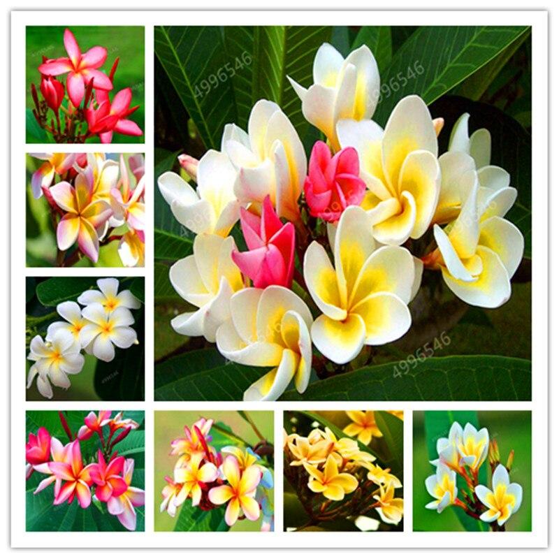 Bonsai 200 Pcs / Bag Plumeria Potted Frangipani Hawaiian Lei Flower Rare Exotic EggFlower Perfect Color Diy Home Garden Planting