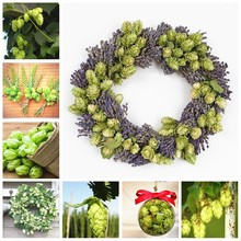 Big Sale 100 pcs/ bag German Hops Humulus Lupulus Brew Your Own Beer Perennial Bonsai Potted Today Plants Form Blooming Plants(China)