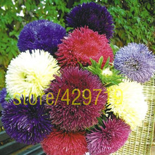 100 aster flower seeds rainbow Chrysanthemum beautiful rainbow daisy for home garden ornamental-plant