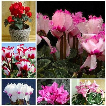Новое поступление! цикламен бонсай, цикламен floreslings растения, цветы Первоцвет сад, 100 шт./пакет, # 9WN78U