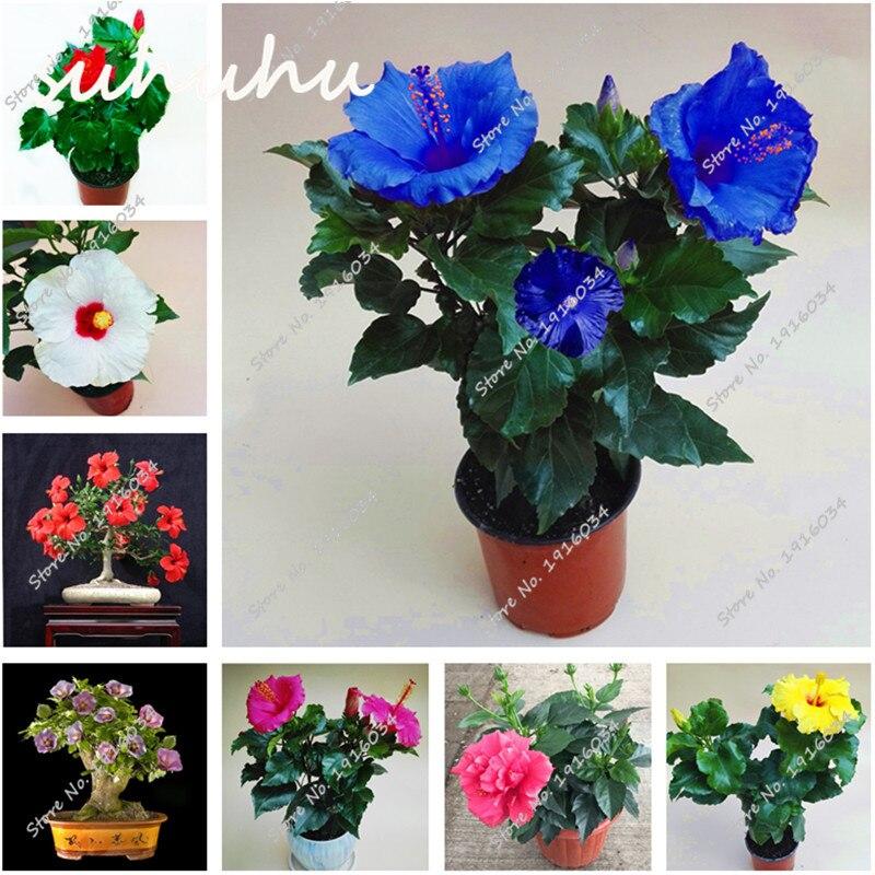 Hibiscus semi di piante acquista a poco prezzo hibiscus for Piante a poco prezzo