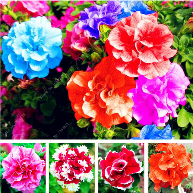 22 Kinds Hanging Petunia Seeds Garden Petunia Seeds Mixed Color