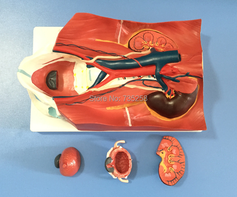Urinary System Model,Urinary System After Abdominal Wall Model human male urinary system model male urinary organ system model