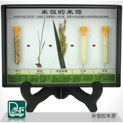 Specimen of rice source science teaching instruments Childrens giftsSpecimen of rice source science teaching instruments Childrens gifts