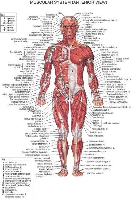 Aliexpress.com: Comprar DIY marco Anatomía Humana músculo anter ...