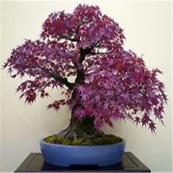 Loss Promotion 10pcs Rare Purple Blue Ghost Japanese Maple Tree