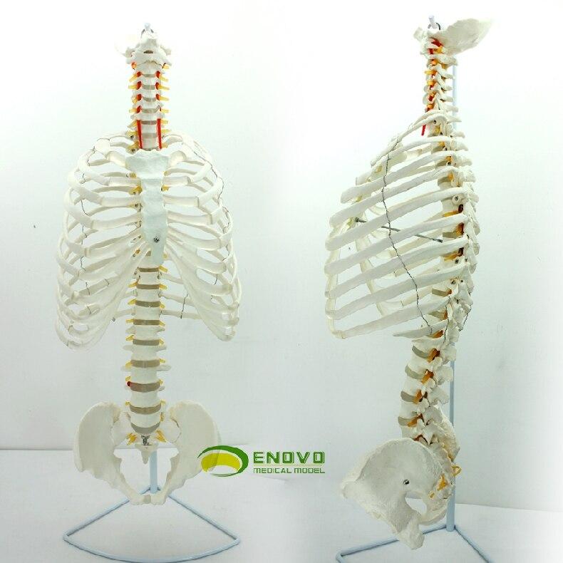 The Medical Model Of Human Spine Pelvic Spine Osteopathy Model Frame