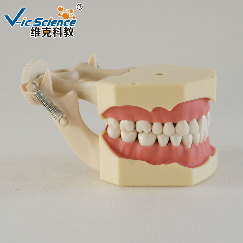 High Copy Frasaco Dental Teeth Model For Studying (Vic Science Brand)