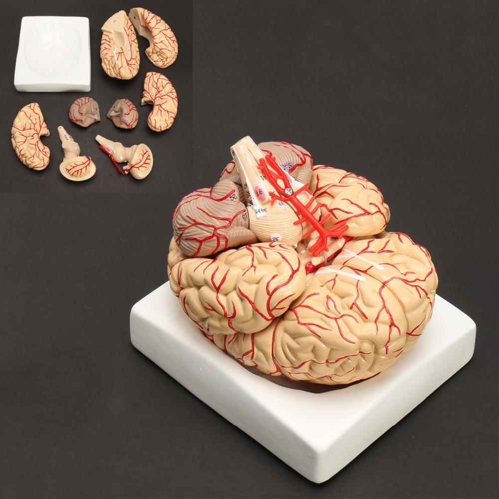 Human Life Size brain anatomy model Medical Set 8 Parts Budget Brain Arteries Model Anatomy цена и фото
