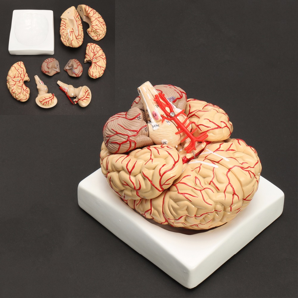 Modelo de anatomía del cerebro del tamaño de la vida humana conjunto médico 8 partes presupuesto de las arterias del cerebro modelo de anatomía