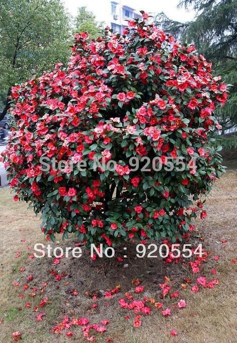 Hot selling 20pcs camellia seeds camellia japonica seeds - Camelia fotos ...